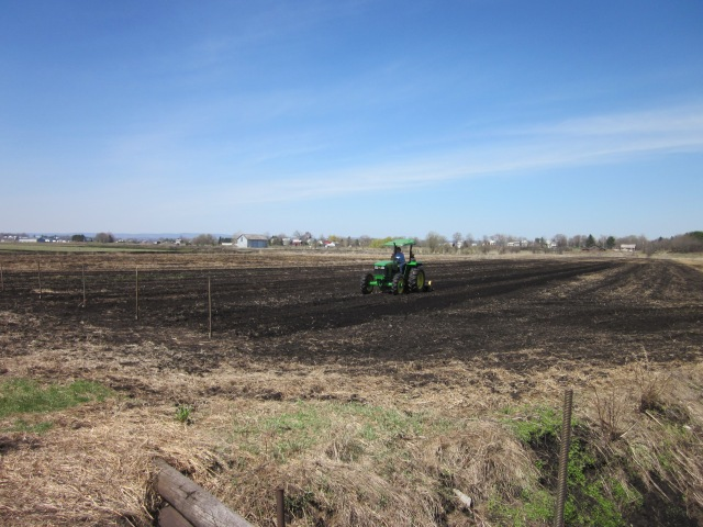 Future Snap Pea Trellis Rows
