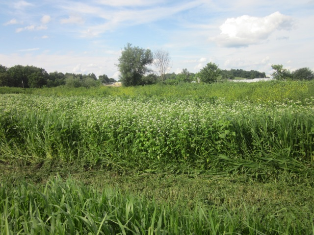 Fields of Buckwheat