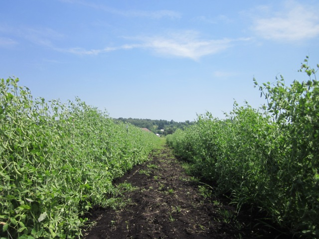 Snap Pea Rows