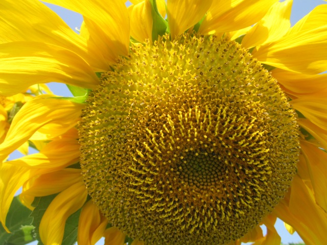sunflower_0809