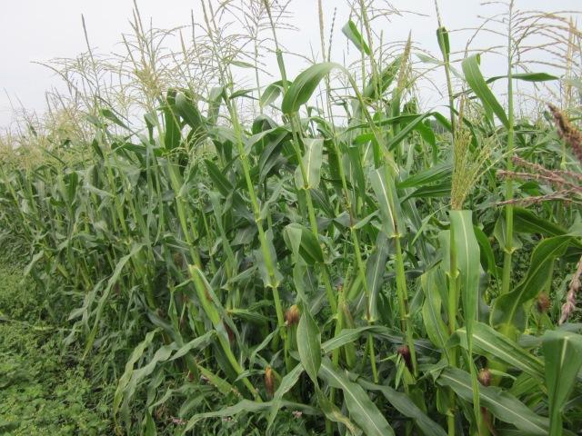 corn_0802