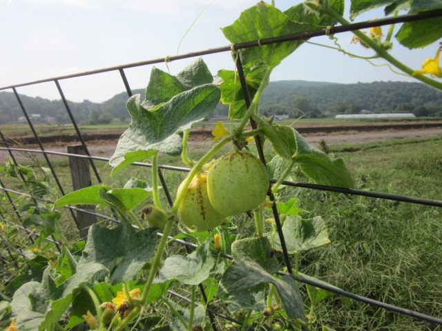 Cucumber Growing Where It Should