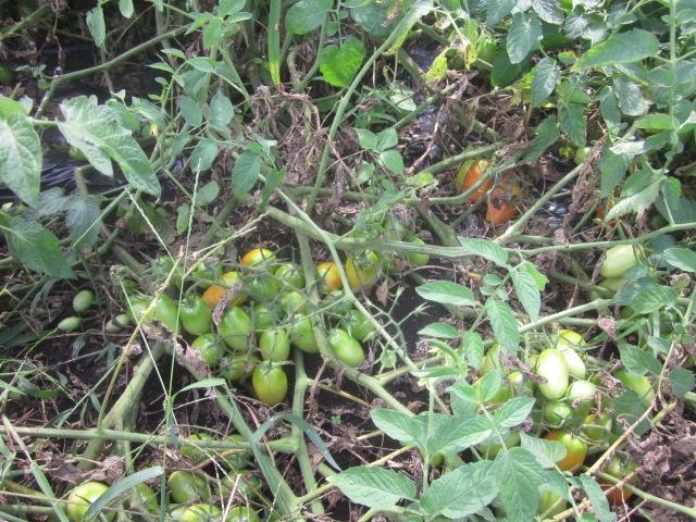 Tomato Nest